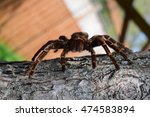 Small photo of Acanthoscurria Ferina Tarantula