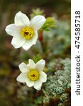 Small photo of Alpine Pasqueflower or Alpine Anemone, Pulsatilla alpina, white wild plant, two blooms, in the nature habitat, Krkonose mountain, Czech. Beautiful booming flower from the Czech highest mountain.