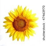 Macro Of A Beautiful Sunflower...