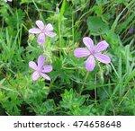 Flowers Of Geranium Meadow In...