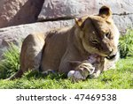 African Lioness Eating A Bone