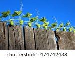 Echinocystis Lobata Flowering...