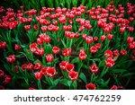 tulip flowers in garden  on... | Shutterstock . vector #474762259