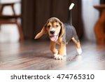 Beagle Puppy Playing At Home O...