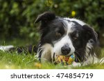 Stock photo portrait of a border collie dog while playing with a ball 474854719