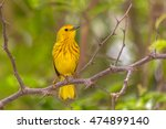 Small photo of American yellow warbler (Setophaga petechia) perched on a branch - Caribbean