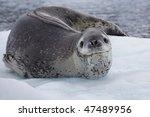 Leopard Seal On Ice Floe ...