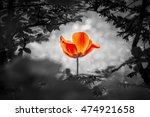 Red Tulip Resurrection In Blac...
