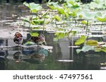 Rare Mandarin Ducks  Male And...