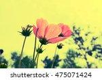 pink cosmos flower. | Shutterstock . vector #475071424