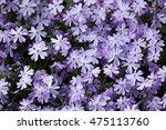 Creeping Phlox  Phlox Subulata...