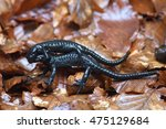 Small photo of Alpine salamander (Salamandra atra): two wild males fight for reproduction