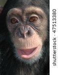 Young Chimpanzee  Pan...