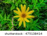 yellow daisy flower   bright... | Shutterstock . vector #475138414