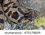 vipera walser  the new species... | Shutterstock . vector #475178839