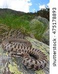vipera walser  the new species... | Shutterstock . vector #475178893