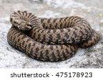 vipera walser  the new species... | Shutterstock . vector #475178923