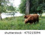 highland cows | Shutterstock . vector #475215094
