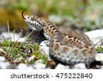 italian meadow viper  vipera... | Shutterstock . vector #475222840