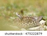 italian meadow viper  vipera... | Shutterstock . vector #475222879
