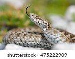 italian meadow viper  vipera... | Shutterstock . vector #475222909