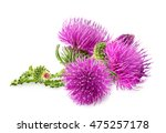 Purple Flower Of Carduus With...