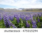 lupines in iceland   Shutterstock . vector #475315294