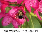 bumble bee on red rhododendron...   Shutterstock . vector #475356814