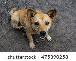 little cute red haired mongrel... | Shutterstock . vector #475390258