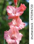 salmon pink gladiolus 'sword...   Shutterstock . vector #475396720