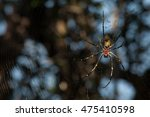 "Small photo of Golden silk spider ""Nephilidae Nephila"""