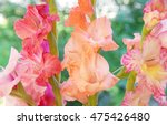 three gladiolus stems   Shutterstock . vector #475426480