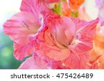 closeup of pink gladiolus... | Shutterstock . vector #475426489