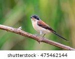 burmese shrike  lanius... | Shutterstock . vector #475462144