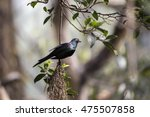 Small photo of Metallic Starling (Aplonis metallica) spotted outdoors in the wild