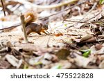 red tailed squirrel   costa... | Shutterstock . vector #475522828