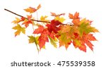 foliage of maple leaf isolated... | Shutterstock . vector #475539358