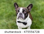 Small French Bull Dog On The...