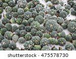 astrophytum cactus | Shutterstock . vector #475578730