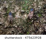 Two Large Brown Cicada