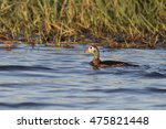 Small photo of African Pygmy Goose on the Chobe River at Kasane Botswana
