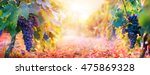 vineyard in fall harvest with... | Shutterstock . vector #475869328