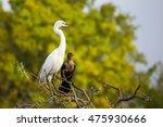 great egret  ardea alba ... | Shutterstock . vector #475930666
