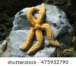 Small photo of saltwater fish named starfish or sea star, from echinoderm Asteroidea family, on a rock inside ocean water