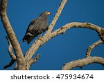 Small photo of African Harrier-Hawk (Polyboroides typus) walking along dead branch