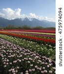 Small photo of Cultivated tulip field during the Agassiz Tulip Festival in the Fraser Valley near Chilliwack, British Columbia, Canada.