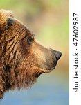 Coastal Alaskan Brown Bear On...