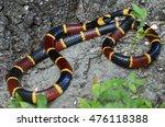 Eastern Coral Snake  Micrurus...