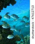 Small photo of Scissortail Sergeants (Abudefduf sexfasciatus) on a coral reef