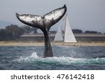 A Humpback Whale Throws Its...